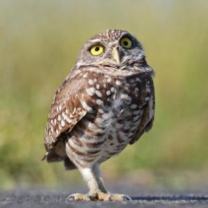 burrowing_owl_sq_0