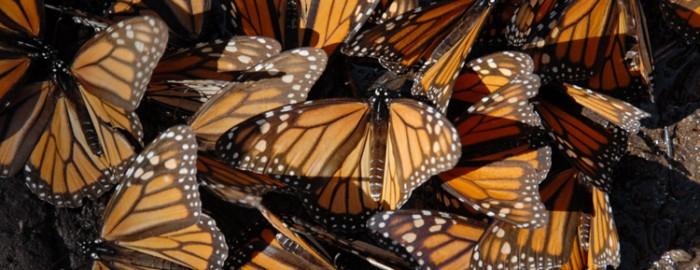 ButterfliesCloseupofMonarchsSKFilmsWeb-700x270